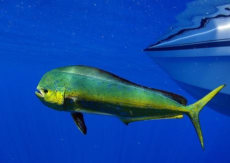Mahi-Mahi Magic: Tips for Fishing (and Dining) a Tropical Favorite