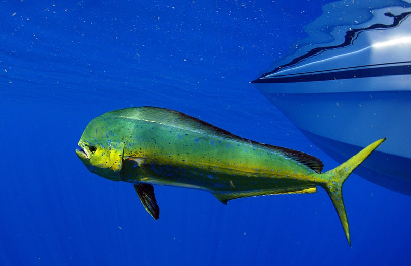 Mahi-Mahi Magic: Tips for Fishing (and Dining) a Tropical Favorite