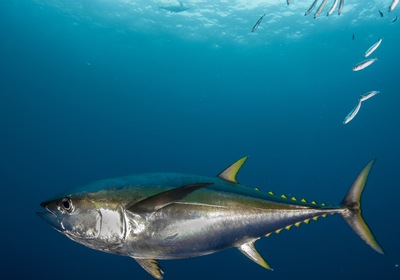 Ahi Action, All Summer Long