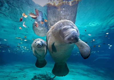 "Meet the Manatee: How Florida's ""Sea Cows"" Stay Warm"