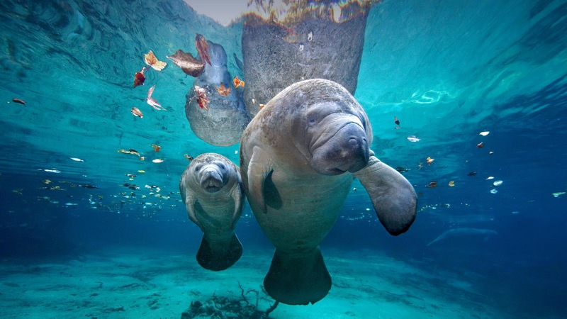 "Meet the Manatee: How Florida's ""Sea Cows"" Stay Warm"